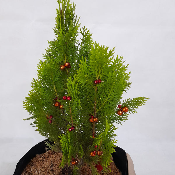 Real, Live Christmas Tree - Aurea Pine (indoor), Ready for Gifting,10 inches (Per Plant) Homegrown: Fresh Food, Groceries, Plants and More!