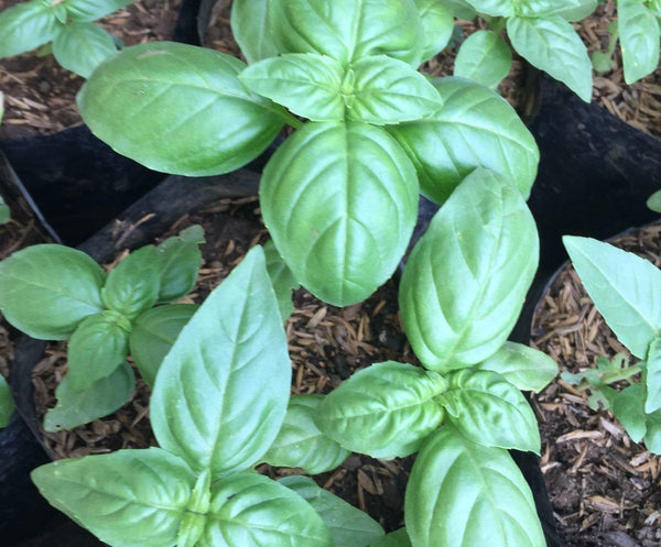 Small Basil Plant,2-4inches height (per piece) Homegrown: Fresh Food, Groceries, Plants and More!