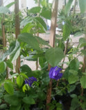 Blue Pea Plant.Blue Flower for your Salad and Tea (per piece)
