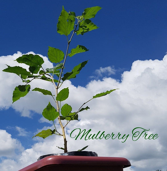.   Mulberry Plant 4 ft above (Per Piece)