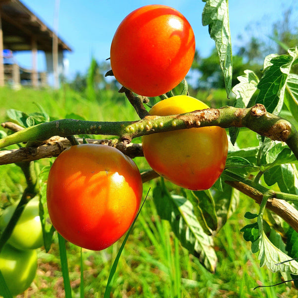 Native Tomato (Per 250g) Homegrown Organics (The Home of Purple Corn) : No Minimum Order