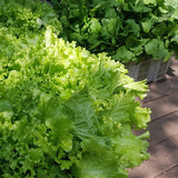 .                                                             Organic Green Lettuce for Weight Loss  (Per 200g)