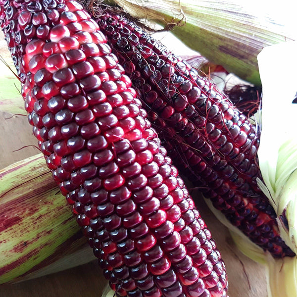 X.                          Purple Corn, Organic, Non GMO, Medium Cobs (per 1kg)