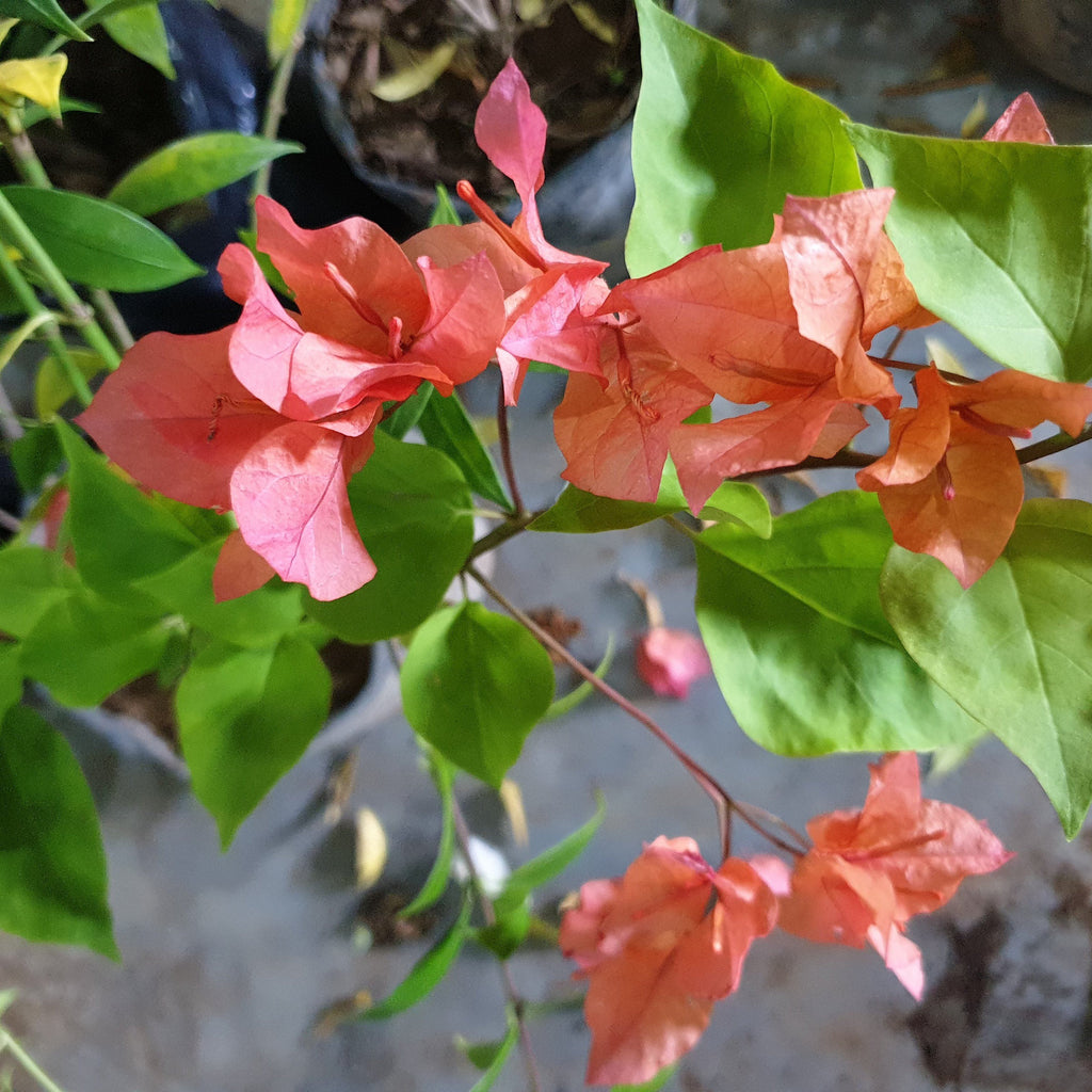 Bougainvilla Plant, Purple (Per plant) Homegrown Door-to-Door Fresh from the Farm Delivery
