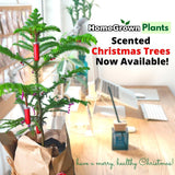 Scented Christmas Tree - Norfolk Pine, Ready for Gifting 10 inches (Per Plant)