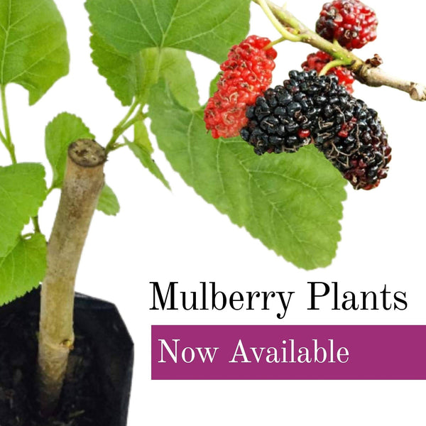 Mulberry Plant, 3inches up (per piece) Homegrown: Fresh Food, Groceries, Plants and More!