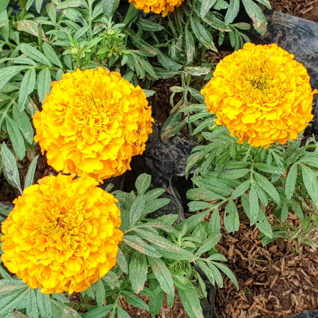 Marigold Plant.Natural Insect Repellant, 5 Inches up(per piece) Homegrown: Fresh Food, Groceries, Plants and More!