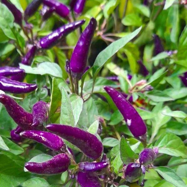Rare Purple Sili Plant, Already Fruiting, 5 Inches up,Variety: Round or Long Fruits (per plant) Homegrown: Fresh Food, Groceries, Plants and More!