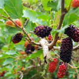 Mulberry Plant, 4-10 Inches up (per plant) Homegrown: Fresh Food, Groceries, Plants and More!