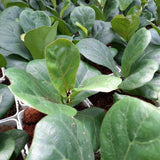 PROMO: FREE PLANT SPRAY! Fiddle Plant, approx 5-12 Inches (per plant) Homegrown: Fresh Food, Groceries, Plants and More!