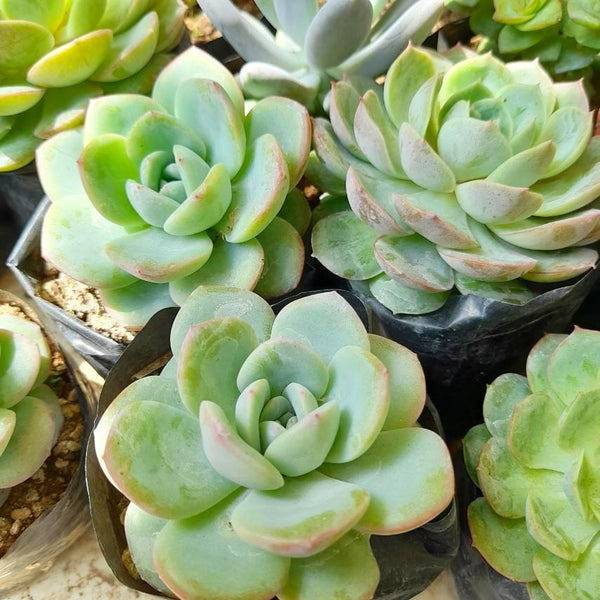 SALE! Echeveria Succulent (per plant) Homegrown Door-to-Door Fresh from the Farm Delivery