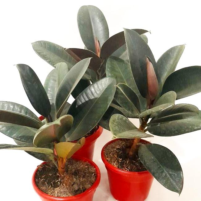 PROMO: FREE PLANT SPRAY! Rubber Tree,Black Prince,Small,4-6 Inches,3 Leaves up (per piece) Homegrown: Fresh Food, Groceries, Plants and More!