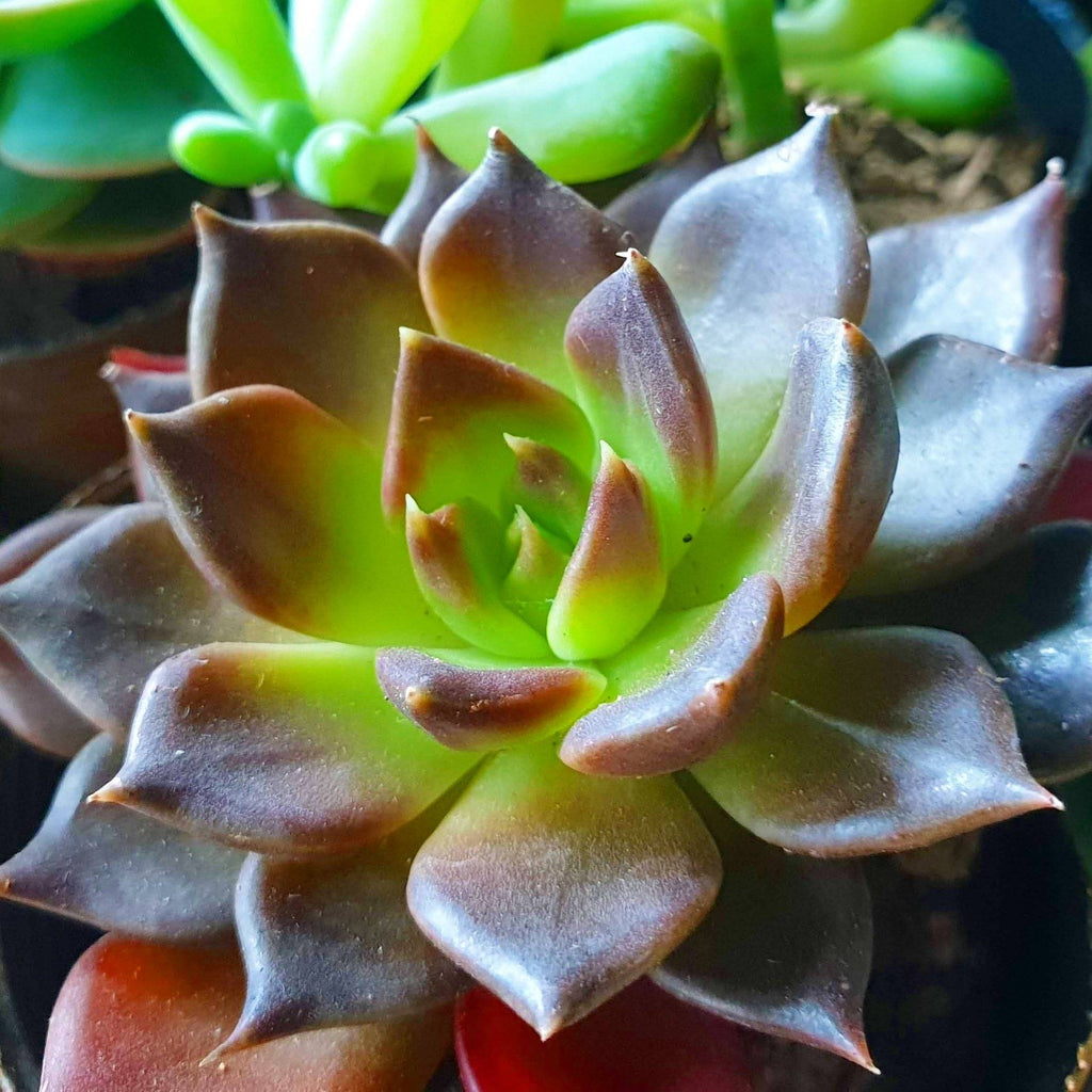 SALE! Purple Prince Succulent Plant,1.5 Inches up (per plant) Homegrown: Fresh Food, Groceries, Plants and More!
