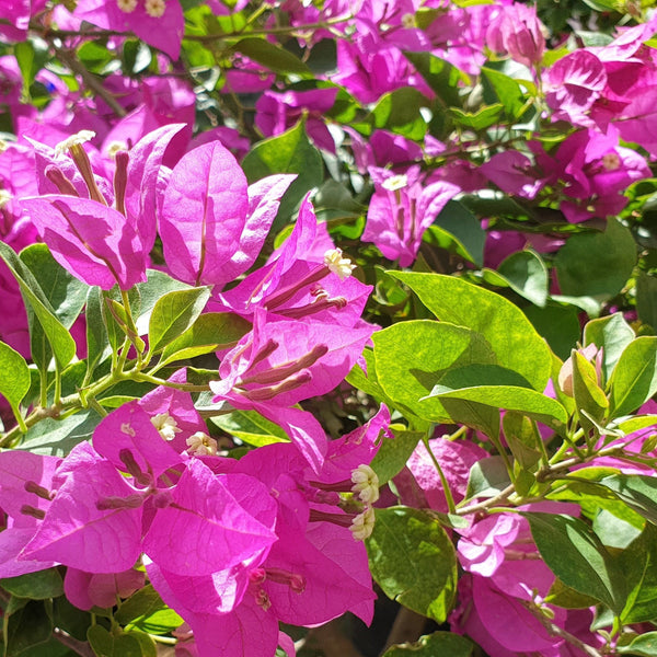 Bougainvilla Plant,Pink or Red, 12 Inches up (per piece) Homegrown: Fresh Food, Groceries, Plants and More!