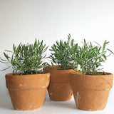 .                                                                       Bestseller! Potted Lavender Plant (Per Pc)