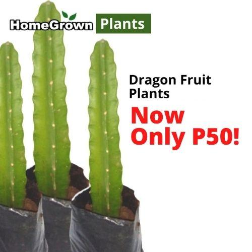 SALE! Only P50! Dragonfruit Plant, Easy to Care, 8inches up,1 stem (per piece) Homegrown: Fresh Food, Groceries, Plants and More!
