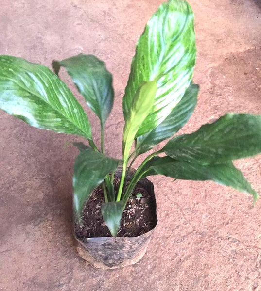 Peace Lily Plant.Indoor. Homegrown: Fresh Food, Groceries, Plants and More!