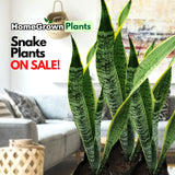Snake Plant,, Indoor ~12 inches (per plant) Homegrown: Fresh Food, Groceries, Plants and More!