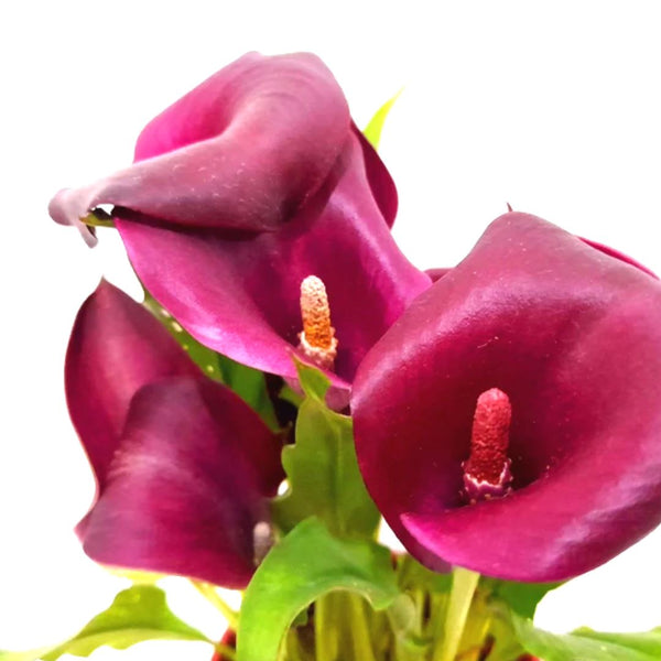 Mother's Day PROMO: FREE PLANT SPRAY! Purple Calla Lily Plant,8 inches up (per plant) Homegrown: Fresh Food, Groceries, Plants and More!