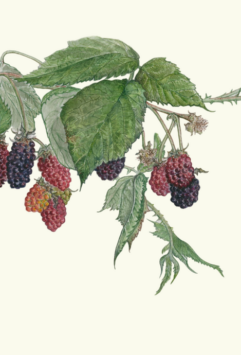 Marionberry greeting card