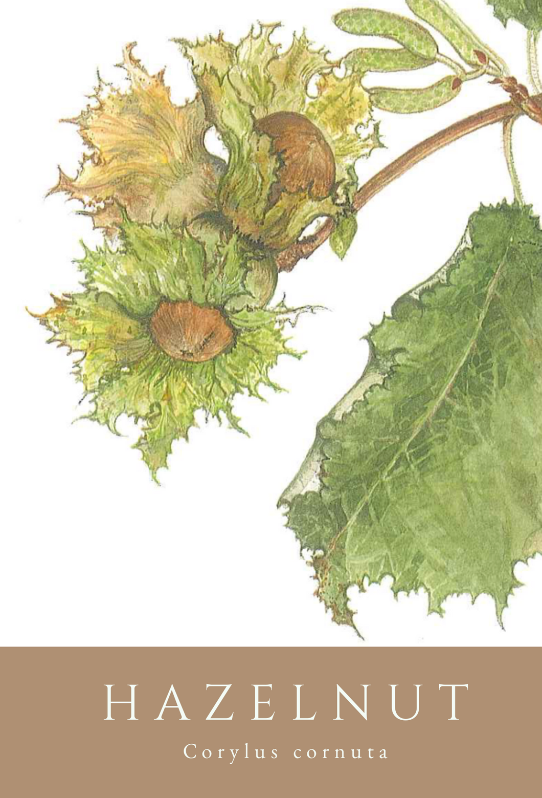 Hazelnut greeting card