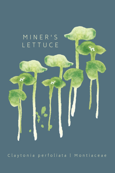 Miner's Lettuce Greeting Card