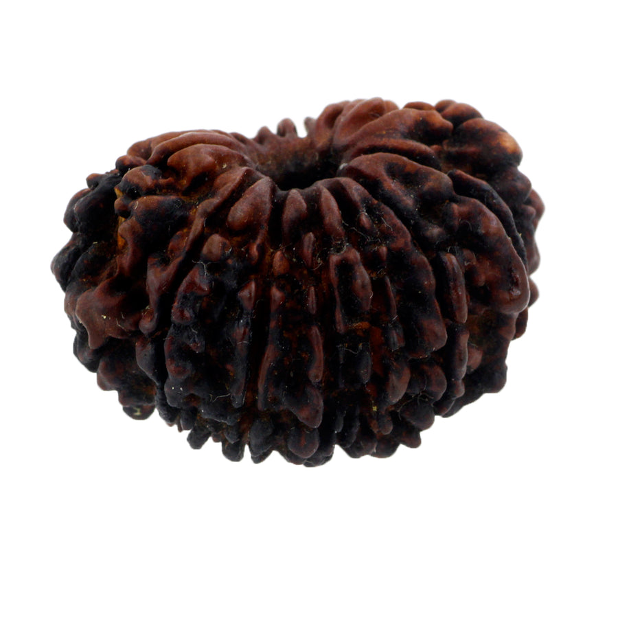 Natural Fourteen Mukhi Certified Orignal Nepali Rudraksha Bead - ZeeDiamonds
