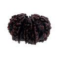 Certified 26 mm Fourteen Mukhi Rudraksha Bead