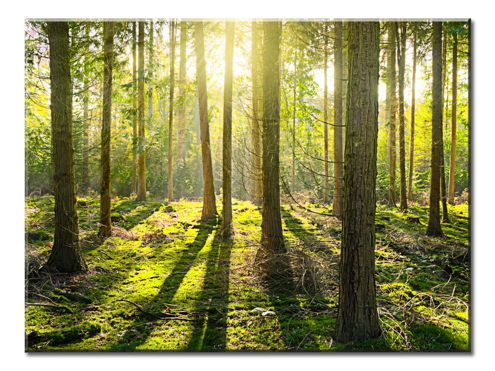 Sunlight Penetrates The Forest - 1 Panel XL
