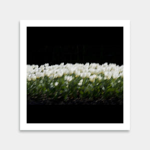 white tulip artwork