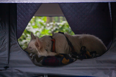 How To Get Your Dog Into a Roof Top Tent