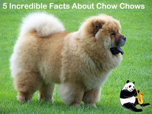 5 Incredible Facts About Chow Chows
