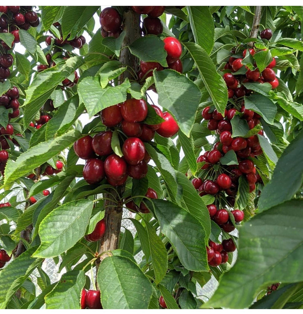 Aus 9row Cherries/kg