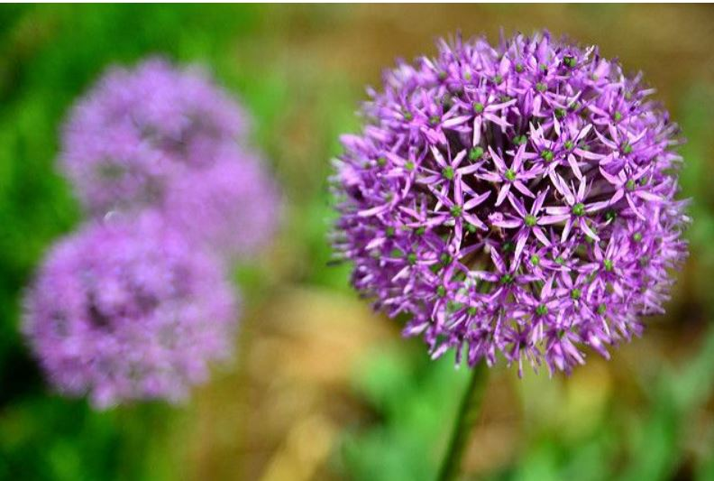 Alliums_2aEmporium.com