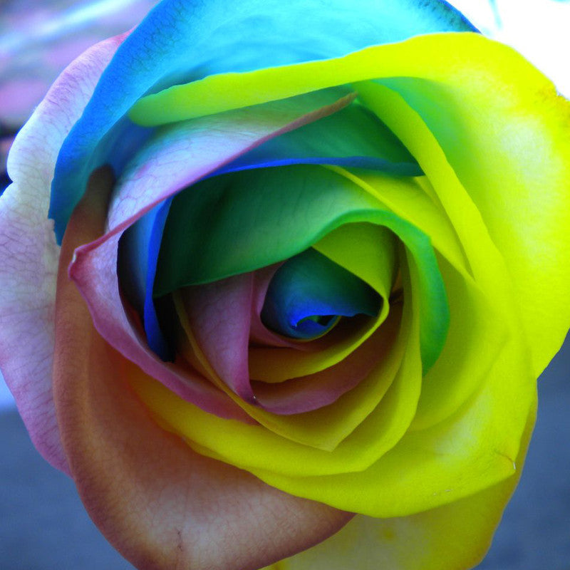 Rare Holland Rainbow Rose Flower Seeds - 150 pieces