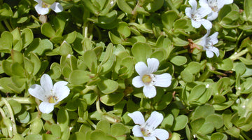 Everything You Need To Know About Bacopa Monnieri