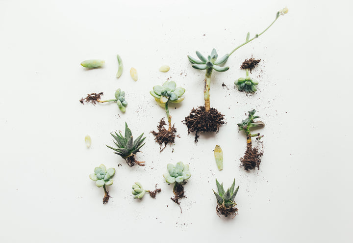 #FlowerCrushFriday - How to care for your succulents