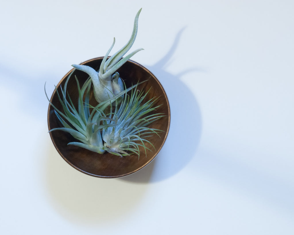 #FlowerCrushFriday - How to care for your air plant