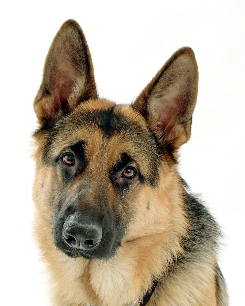 German Shepard Dogs: Everything you need to know