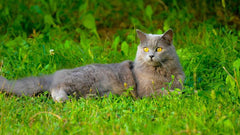 Breed Introduction: Chartreux Cats