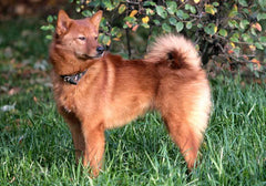 Breed Introduction: Finnish Spitz