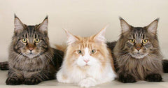 Popular Cat Breeds In Malaysia