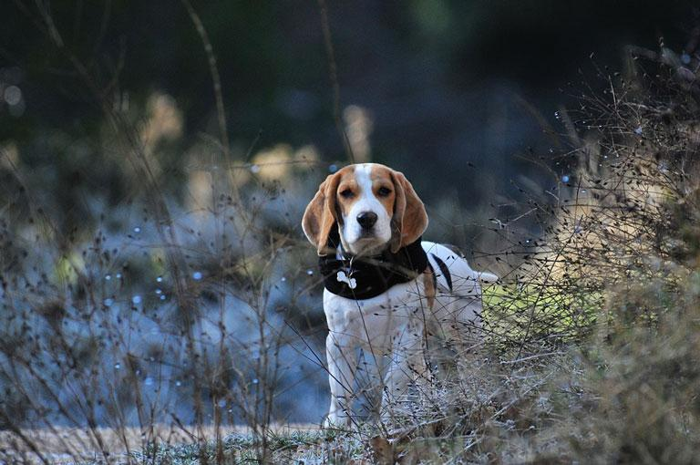 Breed Introduction: Beagle