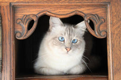Breed Introduction: Birman Cat