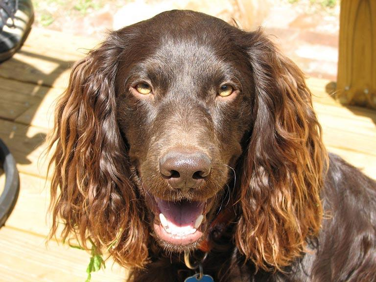 Breed Introduction: Boykin Spaniel Dog