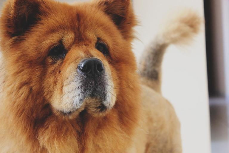 Breed Introduction: Chow Chow