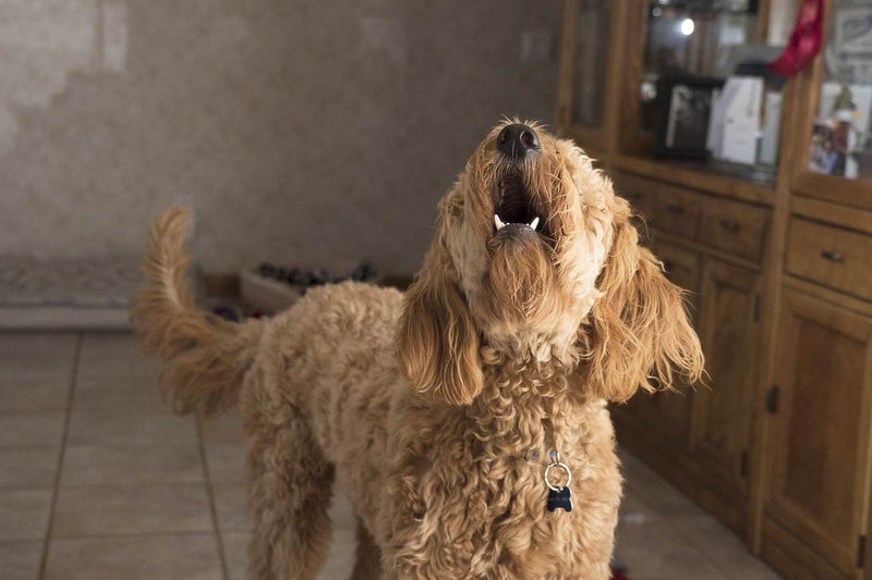 Why Dogs Bark And How To Stop Excessive Barking