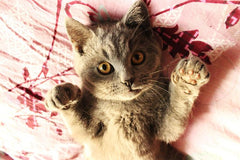 Interesting Facts About Cat Paws