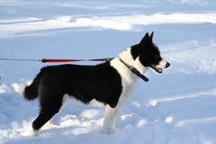 Breed Introduction: Karelian Bear Dog