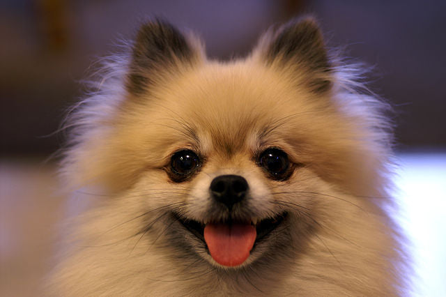5 most loved puppies Pomeranian